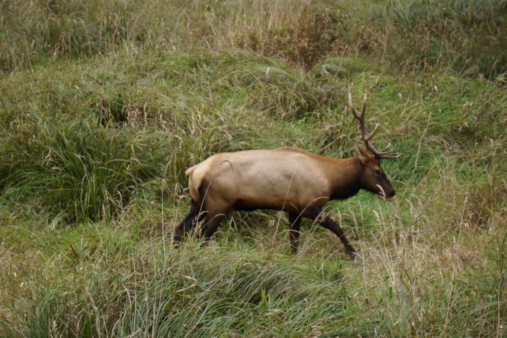 Elk observed in Elk Meadows, redwood National Park, CA